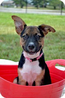German Shepherd Dog/Terrier (Unknown Type, Medium) Mix Puppy for adoption in Westport, Connecticut - *Butter - PENDING