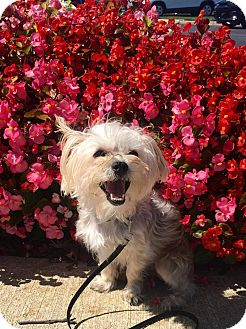 Yorkie, Yorkshire Terrier/Maltese Mix Dog for adoption in Cleveland, Ohio - Leafy Seahorse