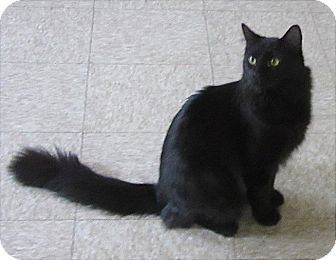 Domestic Mediumhair Cat for adoption in Glenwood, Minnesota - Mark