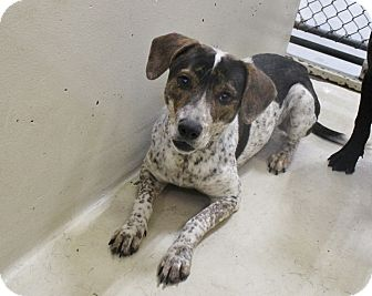 Cattle Dog Mix Dog for adoption in Odessa, Texas - A11 Barcy