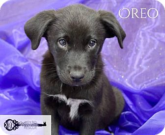 Collie/Shepherd (Unknown Type) Mix Puppy for adoption in DeForest, Wisconsin - Oreo