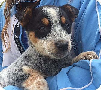Australian Cattle Dog/Shepherd (Unknown Type) Mix Puppy for adoption in Niagara Falls, New York - Rue (6 lb) Video