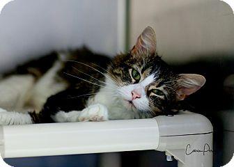 Domestic Mediumhair Cat for adoption in Cape Girardeau, Missouri - Gypsy Rose