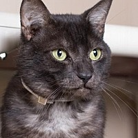 American Shorthair Cat for adoption in Pt. Richmond, California - KINGSFORD