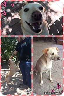Labrador Retriever Mix Dog for adoption in Mesa, Arizona - GOLDIE