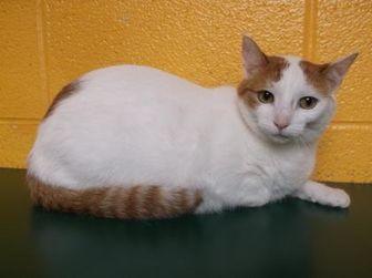 Domestic Shorthair/Domestic Shorthair Mix Cat for adoption in Williamsport, Pennsylvania - Kat