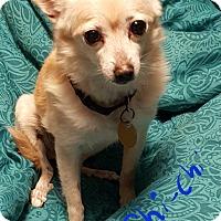 Adopt A Pet :: Chi-chi lost both her humans! - Burlington, VT
