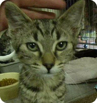 Domestic Shorthair Cat for adoption in Alturas, California - Mickey