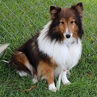Adopt A Pet :: JAZZY - Shell Knob, MO