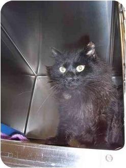 Domestic Mediumhair Cat for adoption in Saint Charles, Missouri - Ebony