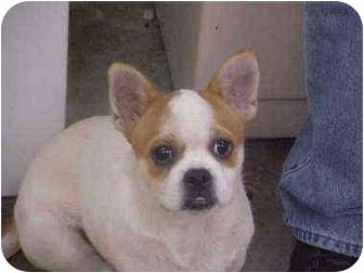 Pug Mix Dog for adoption in Burnsville, North Carolina - Ozzie