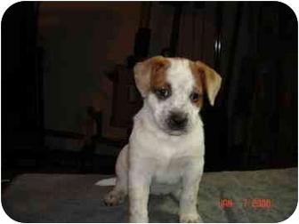 Australian Cattle Dog/Australian Shepherd Mix Puppy for adoption in Walker, Michigan - Tazu