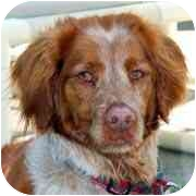 Brittany Dog for adoption in clay twp, Michigan - Whiskey