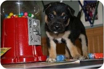 German Shepherd Dog/Boxer Mix Puppy for adoption in Marietta, Georgia - Chiclet