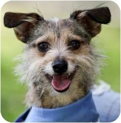 Terrier (Unknown Type, Small)/Cairn Terrier Mix Dog for adoption in Sherman Oaks, California - Timber