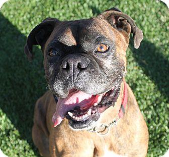 Boxer Dog for adoption in Bend, Oregon - Luke