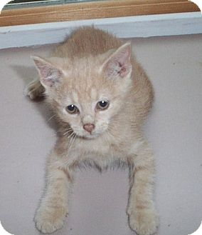 Domestic Shorthair Kitten for adoption in Columbia, South Carolina - T.J.