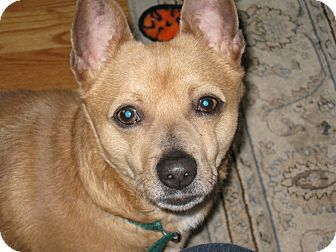 Chihuahua/Corgi Mix Dog for adoption in Worcester, Massachusetts - Jeepers