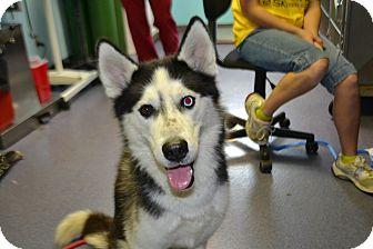 Husky Mix Dog for adoption in Edwardsville, Illinois - Handsome