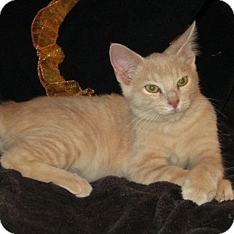 Domestic Shorthair Kitten for adoption in Columbia, Illinois - Pickles