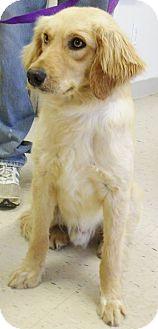 Golden Retriever Mix Dog for adoption in Minneapolis, Minnesota - Bobby