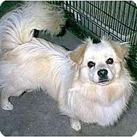 Adopt A Pet :: FLASH - dewey, AZ