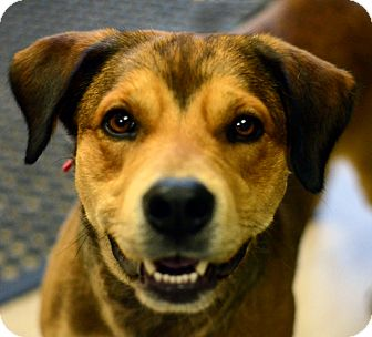 Rottweiler/Labrador Retriever Mix Dog for adoption in Adrian, Michigan - Bear