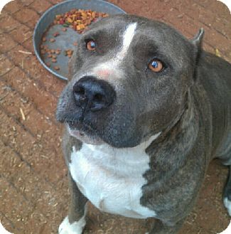 Pit Bull Terrier Mix Dog for adoption in Blanchard, Oklahoma - Justice