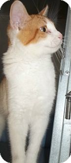 Domestic Shorthair Cat for adoption in Silver City, New Mexico - Reynaldo