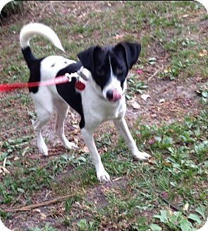 Jack Russell Terrier/Border Collie Mix Dog for adoption in Hampton, Virginia - R2D2
