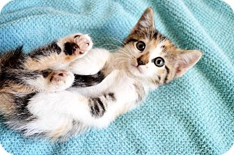 Domestic Shorthair Kitten for adoption in Xenia, Ohio - Jenna