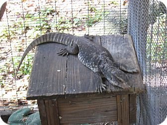 Lizard for adoption in Christmas, Florida - Cooper