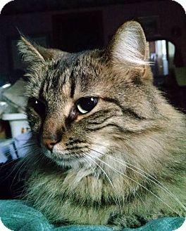 Domestic Longhair Cat for adoption in Anoka, Minnesota - Nora