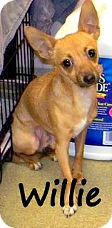 Chihuahua Dog for adoption in Palm Coast, Florida - WILLIE