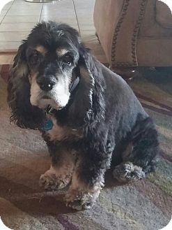 Cocker Spaniel Dog for adoption in Ogden, Utah - Charlie