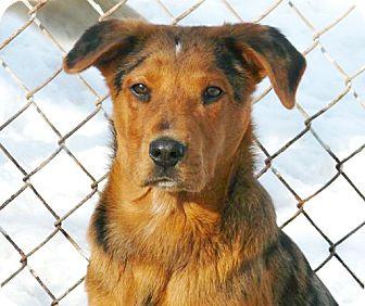 Australian Shepherd/Australian Cattle Dog Mix Puppy for adoption in Liberty Center, Ohio - Digger