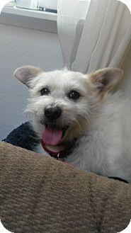 Terrier (Unknown Type, Small) Mix Dog for adoption in Gig Harbor, Washington - Crouton - Adoption Pending
