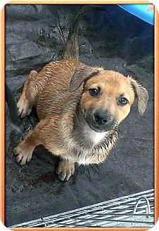 German Shepherd Dog Mix Puppy for adoption in Apache Junction, Arizona - Zira