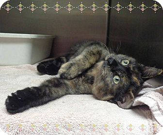 Domestic Shorthair Kitten for adoption in Marietta, Georgia - HARLEY QUINN
