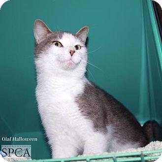 Domestic Shorthair Cat for adoption in Elizabeth City, North Carolina - Olaf