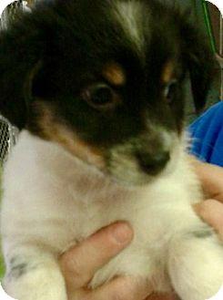 Cavalier King Charles Spaniel/Rat Terrier Mix Puppy for adoption in Oswego, Illinois - I'M ADPTD Ppy Lve Presley Fele