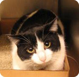 Domestic Shorthair Cat for adoption in Stillwater, Oklahoma - Tre