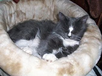 Maine Coon Cat for adoption in Hurricane, Utah - Donna