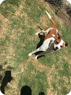 Retriever (Unknown Type) Mix Dog for adoption in Gadsden, Alabama - Chester