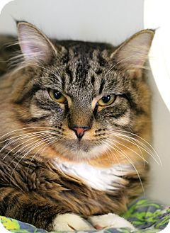Maine Coon Cat for adoption in Staunton, Virginia - Dutch