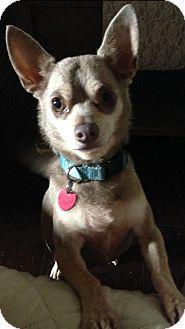 Chihuahua Dog for adoption in Killian, Louisiana - Smokey