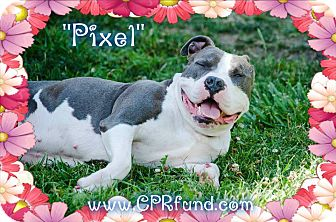 American Staffordshire Terrier/American Bulldog Mix Dog for adoption in Lowell, Indiana - Pixel