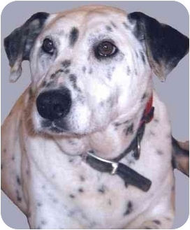 Dalmatian Mix Dog for adoption in Grass Valley, California - Jasmine