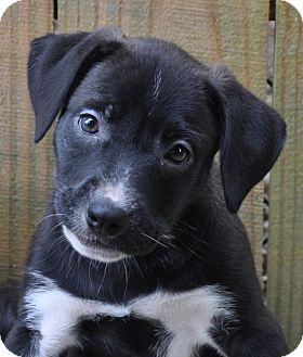 Labrador Retriever/Border Collie Mix Puppy for adoption in Bedminster, New Jersey - Raven