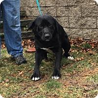 Adopt A Pet :: Dublin Dan in RI!!! - Brattleboro, VT